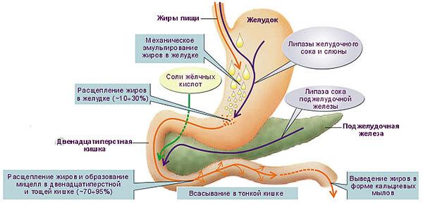 Функции ЖКТ