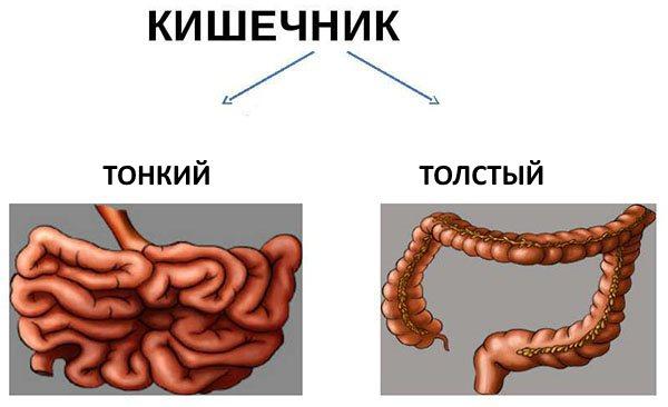 Тонкий и толстый кишечник