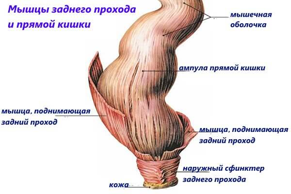 Мышцы заднего прохода и прямой кишки