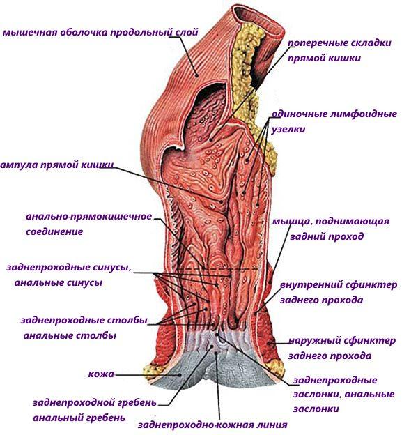 Мышечное строение прямой кишки и заднего прохода