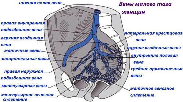 Особенности венозного строения малого таза