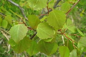 Избавиться от геморроя помогут осиновые листья