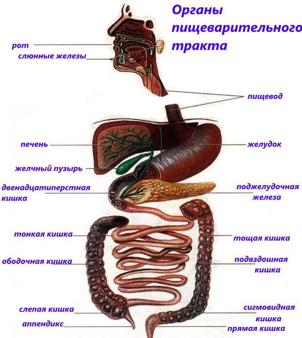 Органы пищеварительного тракта