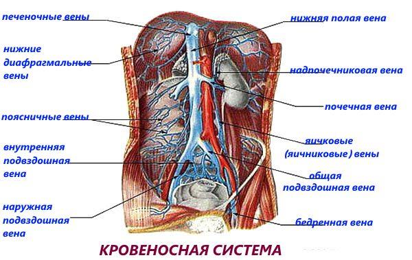 Кровеносная система пищеварительного тракта