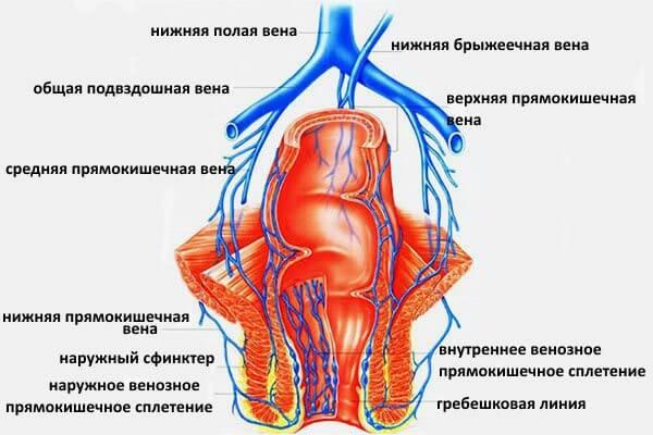 Основная причина развития геморроя - это анатомическая предрасположенность