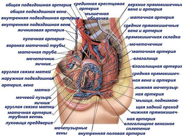 Развитию геморроя способствует анатомическая особенность вен малого таза