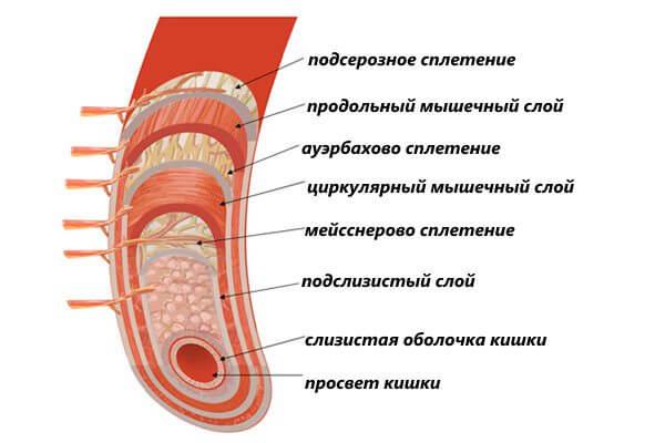 Строение стенки кишечника